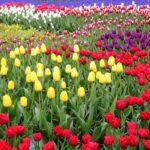 Keukenhof_Tulipe_pixabayhello-amsterdam.fr